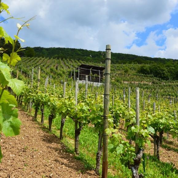 vineyard-357315_960_720